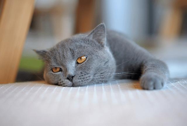 חתול שוכב על מזרון
